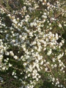 kunzea flowering