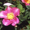 mary-queen-of-scots-rose