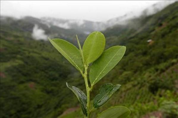 coca plante