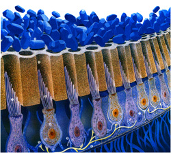 Otoconies : cristaux de carbonates de calcium dans l'oreille interne